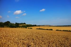 Cornfield near Lenham, on the North Downs Way, July 2014